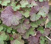 Rubus calcinoides.jpg