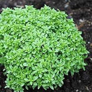 Ocimum basilicum var. minimum, Spicy Bush (or Globe) Basil