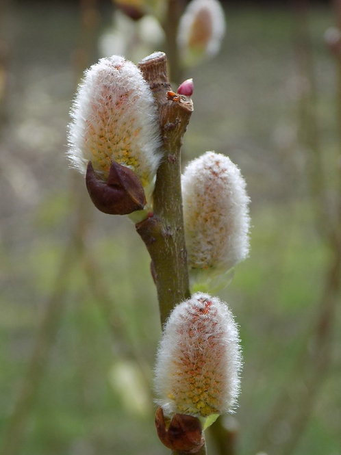 Salix discolor, Pussy Willow