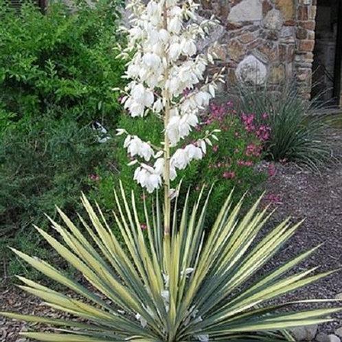 Yucca filamentosa 'Color Guard', Color Guard Adam's Needle