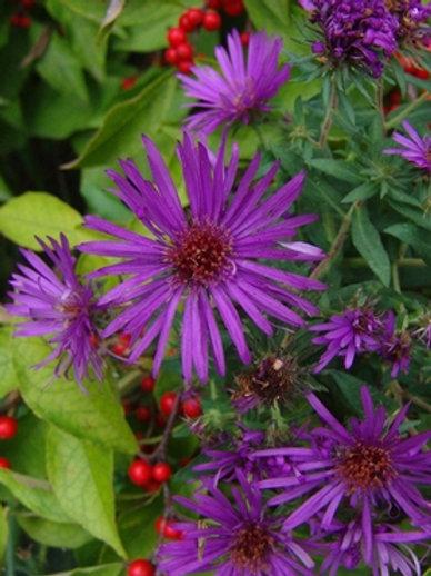 Aster novae-angliae 'Purple Dome', Purple Dome New England Aster