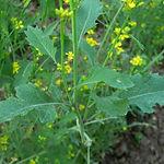 Brassica nigra, Mustard black.jpg