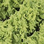 Lactua sativa, Lettuce black seeded simp