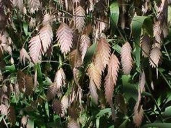 Chasmanthium latifolium, River Oats