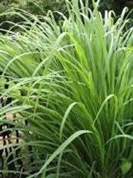 Cymbopogon citratus, Lemon Grass