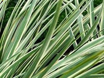 Acorus gramineus 'Variegatus', Grassy-leaved Sweet Flag