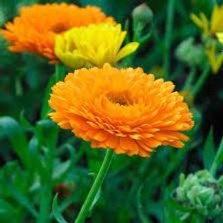 Calendula officinales, Pot Marigold