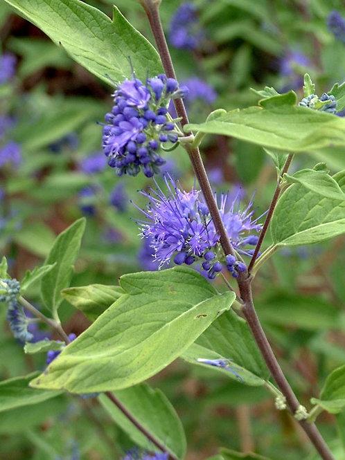 Caryopteris x clandonensis 'Longwood Blue', Longwood Blue Bluebeard