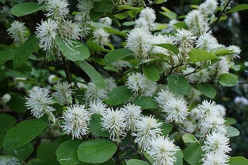 Fothergilla gardenii, Dwarf Fothergilla