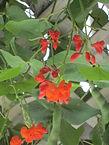 Phaseolus coccineus.jpg