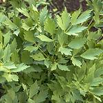 Levisticum officinalis, Lovage.jpg