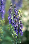 Aconitum napellus, Monkshood.jpg