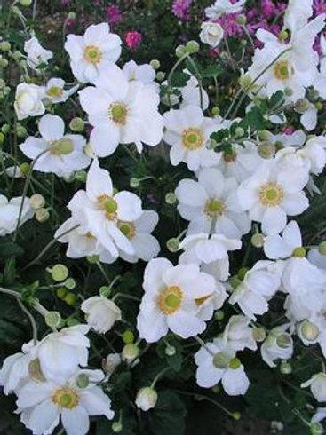 Anemone x hybrida 'Honorine Jobert', Windflower Honorine Jobert