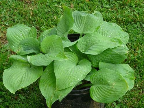 Hosta, Hosta -Solid Green Leaves