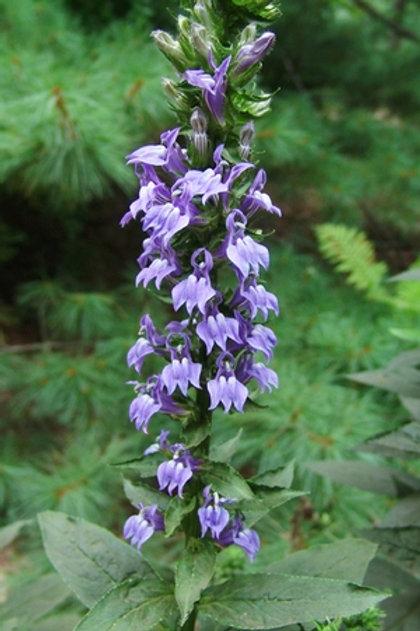 Lobelia siphilitica, Lobelia-Great Blue