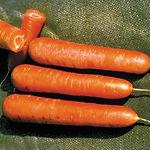 Daucu carota, carrot Nates.jpg