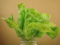Lactua sativa, Lettuce landis winter.jpg