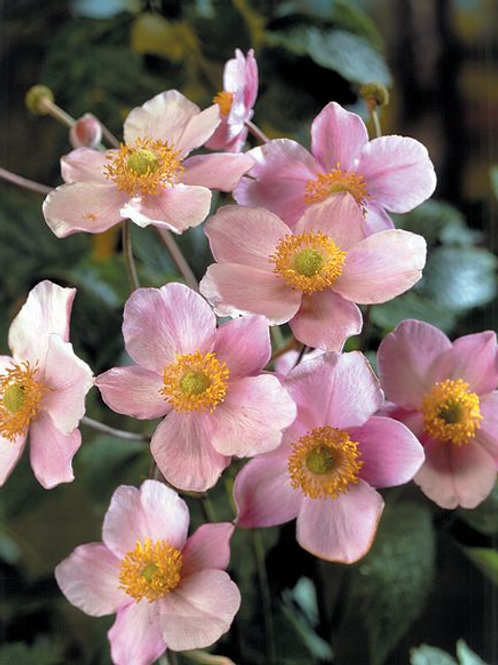 Anemone tomentosa, Japanese Windflower