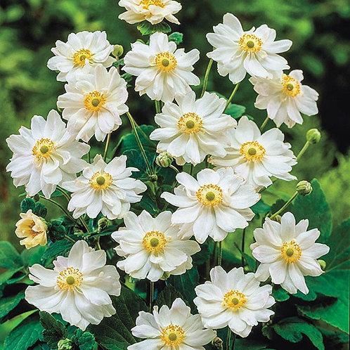 Anemone x hybrida 'Whirlwind', Whirlwind Japanese Windflower (smaller)