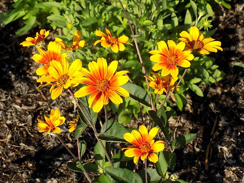 Heliopsis helianthoides v. scabra 'Burning Hearts', Smooth Oxeye