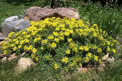 Sedum kamtschaticum v. ellacombeanum, Russian Stonecrop
