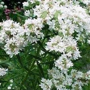 Pycnanthemum tenuifolium, Slender Mountain Mint