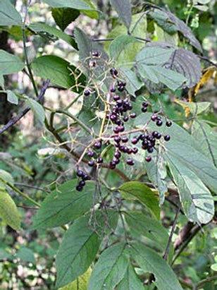 Sambucus canadensis, Elderberry (1 gallon pots)