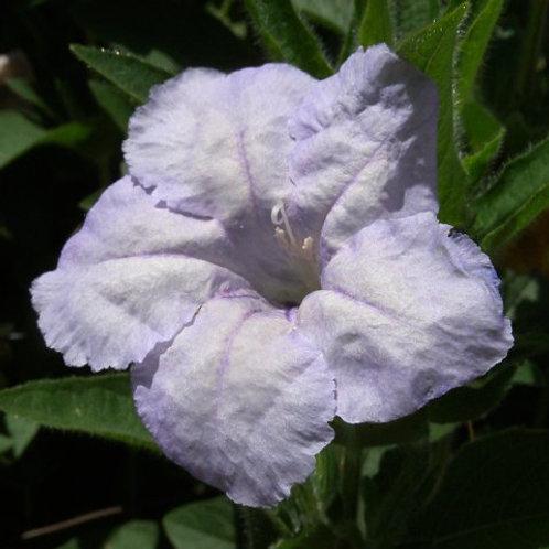 Ruellia humillis, Wild Petunia