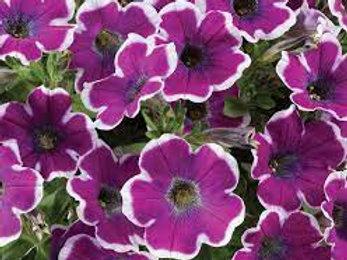 Petunia x hybrida 'Hippy Chick Violet', Hippy Chick Violet Petunia
