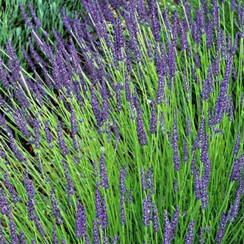 Lavandula x intermedia 'Grosso', Grosso Lavender (hardy)