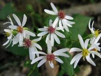 Eurybia divaricatus, White Wood Aster