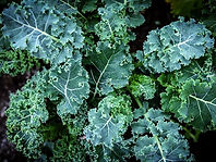 Brassica napus, Kale blue curled scotch.