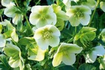 Helleborus orientalis, Lenten Rose - Cream/Pale Green (larger plant)