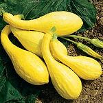 Cucurbita pepo, Squash yellow crookneck.