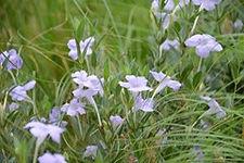 Ruellia humilis, Wild petunia.jpeg