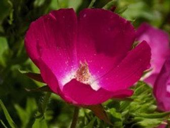 Callirhoe involucrata, Wine Cups / Purple Poppymallow