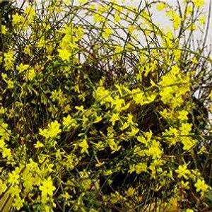 Jasminum nudiflorum, Winter Jasmine