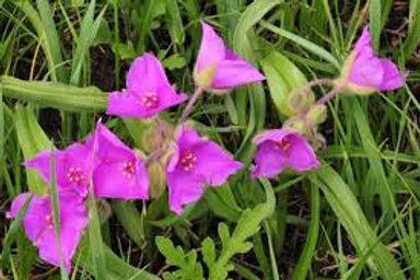 Tradescantia virginiana, Spiderwort