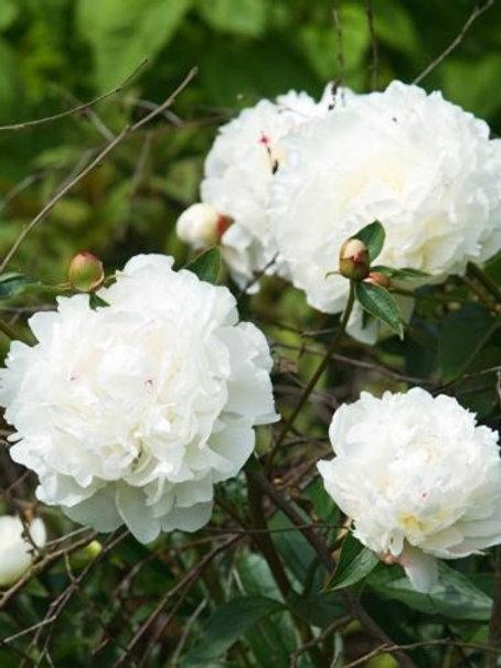 Paeonia lactiflora, Peony (Double White)