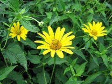 Heliopsis helianthoides, Oxeye Sunflower