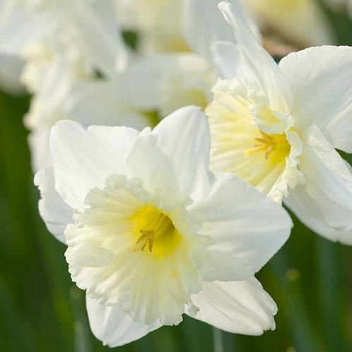 Narcissus 'Ice Follies', Ice Follies Daffodil (Approx. 6 bulbs per bag)