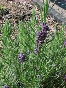 Lavandula angustifolia 'Hidcote', Hidcote English Lavender (hardy)
