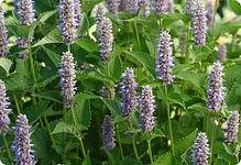 Agastache foeniculum, Hyssop blue.jpg