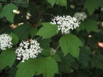 Viburnum acerifolium, Mapleleaf Viburnum