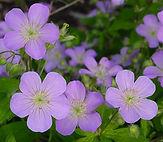 Geranium maculatum.jpg