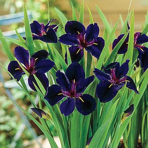 Iris louisiana 'Black Gamecock', Black Gamecock Iris