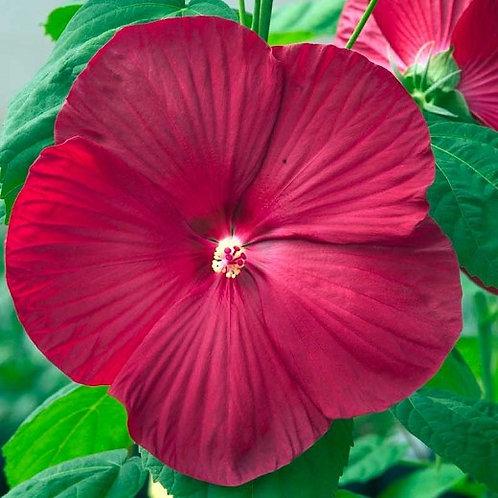 Hibiscus moscheutos, Eastern Rose Mallow - Watermelon Red