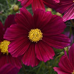 Cosmos bipinnatus, Cosmos sonata purple.