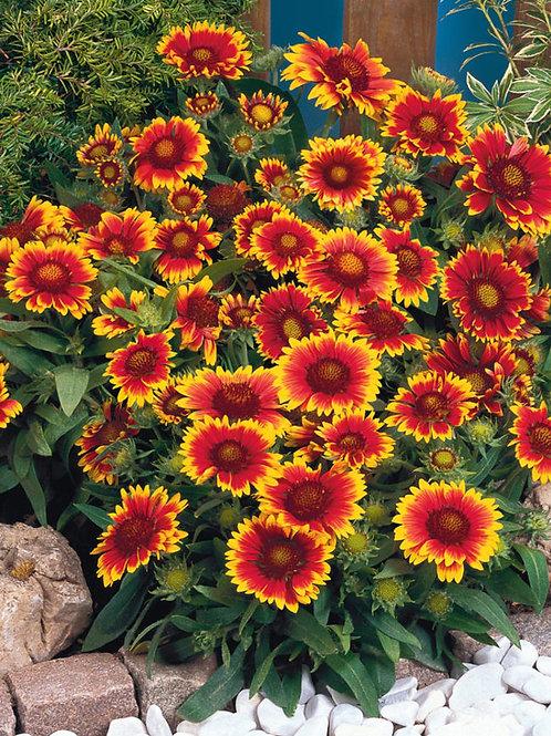 Gaillardia x grandiflora 'Arizona Sun', Arizona Sun Blanket Flower