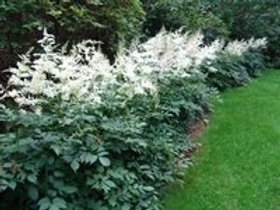 Astible arendsii, Astilbe